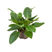 plantenwinkel.nl Philodendron imperial green L hydrocultuur plant