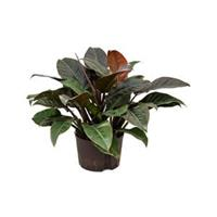 plantenwinkel.nl Philodendron imperial red XL hydrocultuur plant