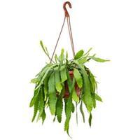 plantenwinkel.nl Lepismium cactus houlletianum hangplant