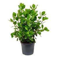 plantenwinkel.nl Clusia rosea princess M kamerplant