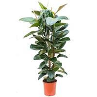 plantenwinkel.nl Ficus robusta XL kamerplant