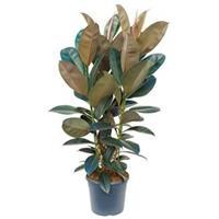 plantenwinkel.nl Ficus elastica abidjan M kamerplant