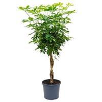 plantenwinkel.nl Schefflera gold capella gevlochten kamerplant