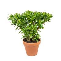 plantenwinkel.nl Crassula ovata M2 kamerplant