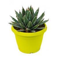 plantenwinkel.nl Agave victoria reginae A kamerplant