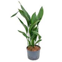 plantenwinkel.nl Aspidistra elatior XL hydrocultuur plant
