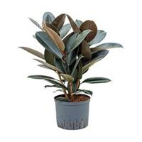 plantenwinkel.nl Ficus elastica abidjan bush hydrocultuur plant