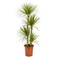 plantenwinkel.nl Dracaena marginata sunray L kamerplant
