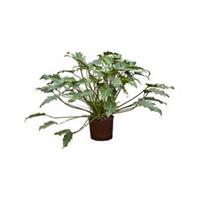 plantenwinkel.nl Philodendron xanadu M hydrocultuur plant