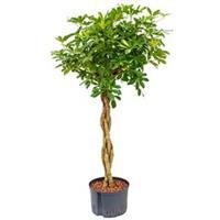 plantenwinkel.nl Schefflera gold capella gevlochten S hydrocultuur plant