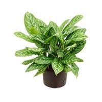 plantenwinkel.nl Aglaonema stripes L hydrocultuur plant
