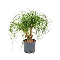 plantenwinkel.nl Beaucarnea recurvata vertakt 30 hydrocultuur plant