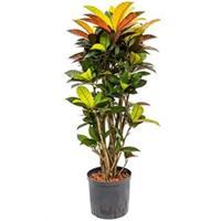 plantenwinkel.nl Croton iceton M hydrocultuur plant