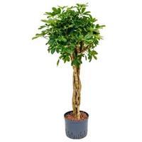 plantenwinkel.nl Schefflera arboricola gevlochten S hydrocultuur plant