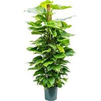 plantenwinkel.nl Scindapsus epipremnum aureum mosstok 150 S kamerplant