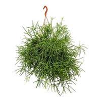 plantenwinkel.nl Rhipsalis neves armondii hangplant