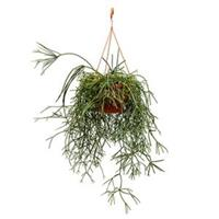 plantenwinkel.nl Rhipsalis pilocarpa hangplant