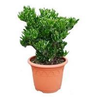 plantenwinkel.nl Crassula horntree M kamerplant