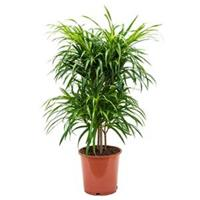 plantenwinkel.nl Dracaena Pleomele anita variegata multi M kamerplant