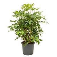 plantenwinkel.nl Schefflera arboricola vertakt S kamerplant