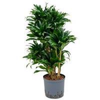 plantenwinkel.nl Dracaena compacta XL hydrocultuur plant