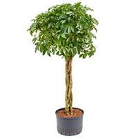 plantenwinkel.nl Schefflera arboricola gevlochten M hydrocultuur plant