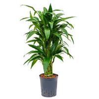 plantenwinkel.nl Dracaena janet craig multi S hydrocultuur plant