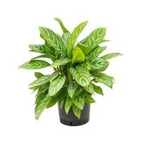 plantenwinkel.nl Aglaonema stripes XL hydrocultuur plant