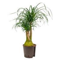 plantenwinkel.nl Beaucarnea recurvata vertakt S hydrocultuur plant
