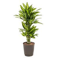 plantenwinkel.nl Dracaena cintho belem hydrocultuur plant