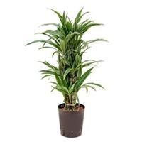 plantenwinkel.nl Dracaena deremensis medellin hydrocultuur plant