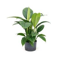 plantenwinkel.nl Spathiphyllum sensation L hydrocultuur plant