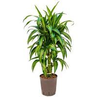 plantenwinkel.nl Dracaena hawaiian sunshine vertakt S hydrocultuur plant