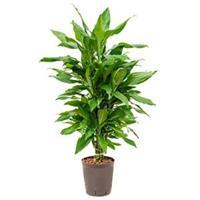 plantenwinkel.nl Dracaena janet lind leon hydrocultuur plant
