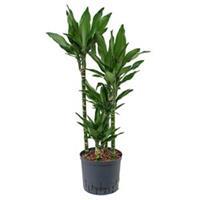 plantenwinkel.nl Dracaena janet lind carreria hydrocultuur plant