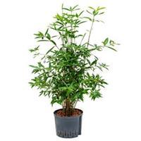 plantenwinkel.nl Dracaena surculosa cantik hydrocultuur plant