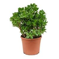 plantenwinkel.nl Crassula ovata L kamerplant