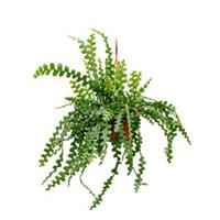 plantenwinkel.nl Epiphyllum zaagcactus anguliger M hangplant