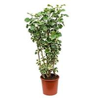 plantenwinkel.nl Polyscias aralia balforiana L kamerplant