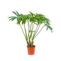 plantenwinkel.nl Philodendron fun bun kamerplant