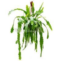 plantenwinkel.nl Epiphyllum zaagcactus beavertail M hangplant