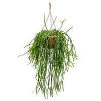 plantenwinkel.nl Rhipsalis trigona hangplant