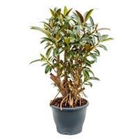 plantenwinkel.nl Ficus petit melany kamerplant