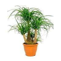plantenwinkel.nl Beaucarnea recurvata beta kamerplant