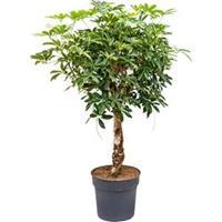 plantenwinkel.nl Schefflera arboricola stam kamerplant