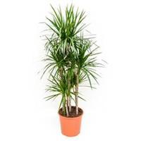 plantenwinkel.nl Dracaena marginata L kamerplant