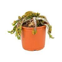 plantenwinkel.nl Euphorbia cactus stellata kamerplant