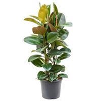 plantenwinkel.nl Ficus robusta L3 kamerplant
