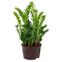 plantenwinkel.nl Zamioculcas zamiifolia XL hydrocultuur plant