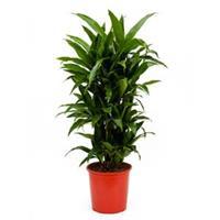 plantenwinkel.nl Dracaena janet craig multi vertakt kamerplant